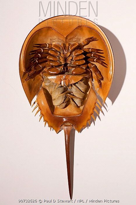 Minden Pictures stock photos - Horseshoe crab (Limulus polyphemus ...