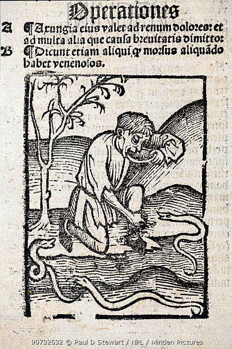 1491 Woodblock illustration of a from Ortus (Hortus) sanitatis - man taking a cure for snake bite. Hortus Sanitatis translates from the Latin as 'Garden of Health'. The Hortus was the first printed natural history encyclopaedia and was published by Jacob Meydenbach in Mainz, Germany in 1491 describing plants and animals (both real and mythical) together with minerals and medicine.