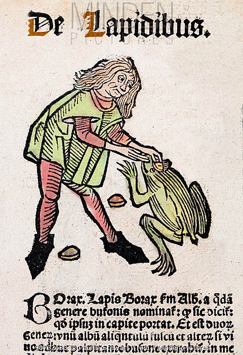 1491 Woodblock illustration of from Ortus (Hortus) sanitatis - translated from the Latin as 'Garden of Health'. Shows an apothecary removing a toad stone bezoar from a large toad's 'third eye'. Toad stones or  were thought to be cure-alls against poison.  The Hortus was the first printed natural history encyclopaedia and was published by Jacob Meydenbach in Mainz, Germany in 1491 describing plants and animals (both real and mythical) together with minerals and medicine.