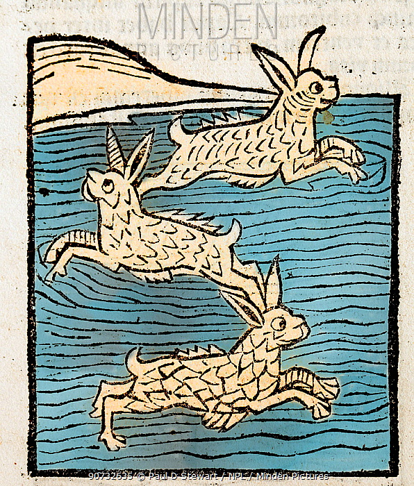 Woodblock illustration of Sea Hares from Ortus (Hortus) Sanitatis 1491 - translated from the Latin as 'Garden of Health'. During the middle ages all manner of land animals were thought to have their own scaled and finned equivalents in the sea. The Hortus was the first printed natural history encyclopaedia and was published by Jacob Meydenbach in Mainz, Germany in 1491 describing plants and animals (both real and mythical) together with minerals.