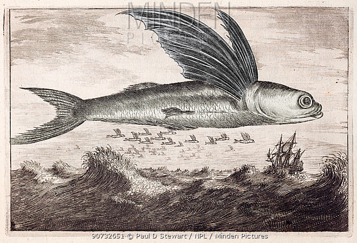 Illustration of Flying fish (Excocoetus) jumping out of water from , 'An Embassy from the East India Company of the United Provinces' by Johan Nieuhof, 1693.