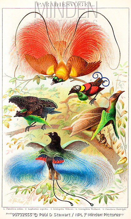 Historical illustration showing the displays of various birds of paradise: Red bird-of-paradise (Paradisea rubra), Superb bird of paradise (Lophorina superba), Wilson's bird of paradise (Cicinnurus respublica) and Blue bird-of-paradise (Paradisaea rudolphi). Chromolithograph from Brockhaus' Konversations-lexikon Autorenkollektiv, F. A. Brockhaus in Leipzig, Berlin und Wien, 14. Auflage, 1894-1896. The display poses for these birds are not accurate  as they were only known from specimens. Red bird-of-paradise is in the pose of Goldie's bird of paradise, The Superb bird of paradise pull feathers around it to make the bird circular from above with bright blue elipse. Wilson's bird of paradise and Standardwing bird of paradise are not displaying. The Blue Bird of Paradise actually hangs upside down while displaying revealing red crescent on chest.