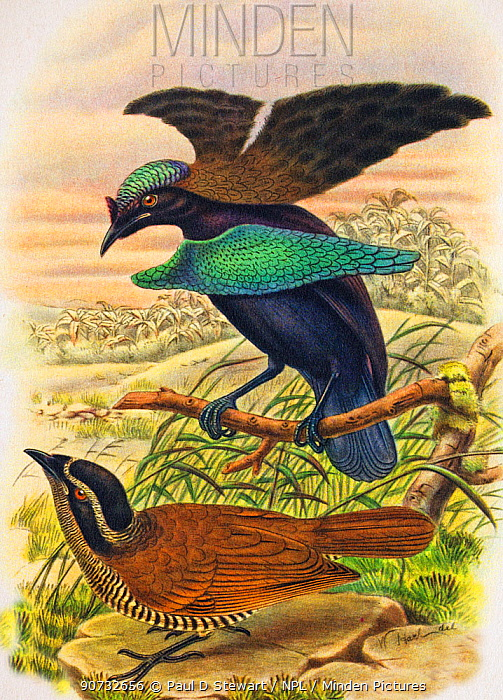 Illustration of Superb bird of paradise (Lophorina superba) displaying to female, this display is factually wrong as the display was not witnessed until many years later.  Illustration by Richard Bowdler Sharpe from his 'Wonders of the Bird World' 1898. Chromolithograph from Brockhaus' Konversations-lexikon.