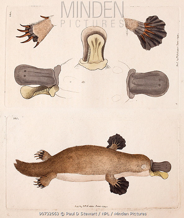 Minden Pictures stock photos - Illustration plates of Duck billed ...