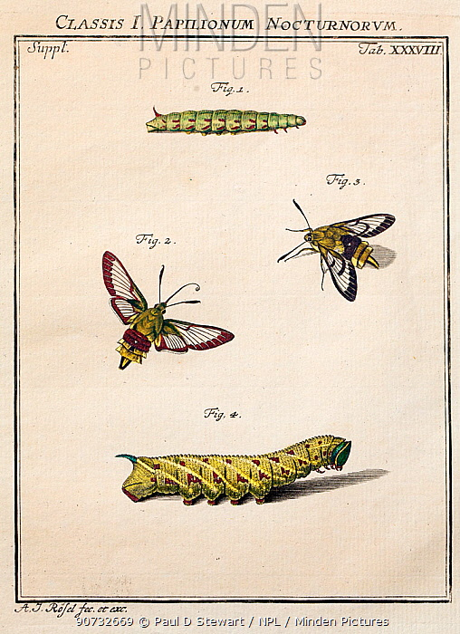 Portrait of adult and larvae of the Broad bordered bee hawk moth (Hemaris fuciformis) and Narrow bordered Bee hawk moth (H. tityus) by August Johann Rosel von Rosenhof from his work 'Insect Amusements', 1744.