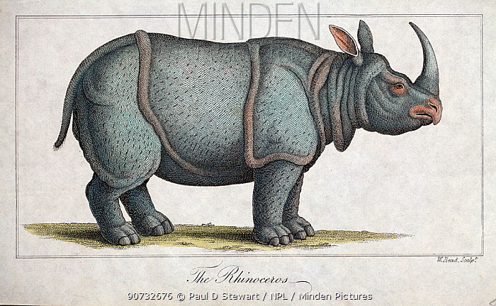 Copperplate illustration of Indian rhinoceros (Rhinoceros unicornis) by W. Read with later hand colouring. From 'Nature Displayed in the Heavens and on Earth' by Simeon Shaw 1823