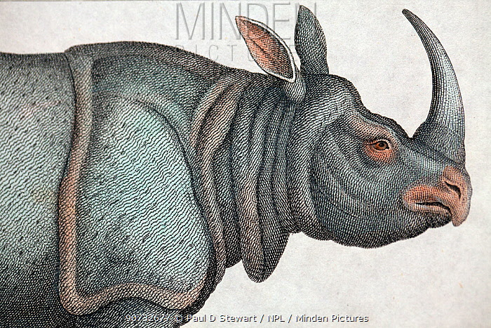 Copperplate illustration of Indian rhinoceros (Rhinoceros unicornis) by W. Read with later hand colouring . From 'Nature Displayed in the Heavens and on Earth' by Simeon Shaw 1823