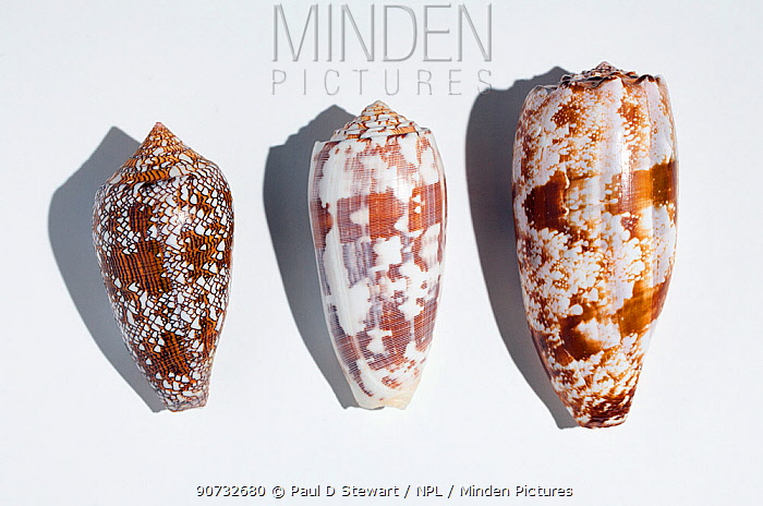 Three shells of different species of large predatory cone shells which are highly venomous but potentially have powerful painkillling  properties; from the top: the Geography cone (Conus geographicus) the Striated cone (Conus striatus), and the Textile cone (Conus textile).