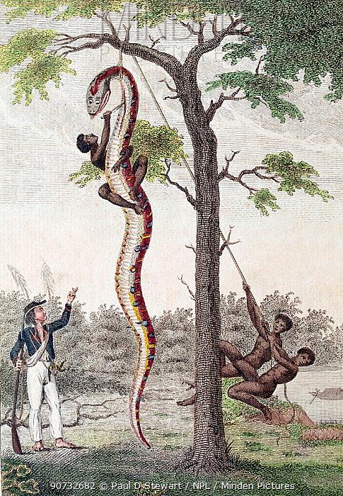 Illustration 'Skinning of the Aboma Snake', J. G. Stedman, Narrative (1796), the plate designed by Stedman and originally engraved by Blake shows slaves in Surinam skinning an anaconda while Stedman looks on.