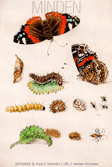 Illustration of Red admiral butterfly (Vanessa atalanta) life stages and parasites. By Maria Sybella Merian 1683, from her book 'Caterpillars, Their Wondrous Transformation and Peculiar Nourishment from Flowers'.