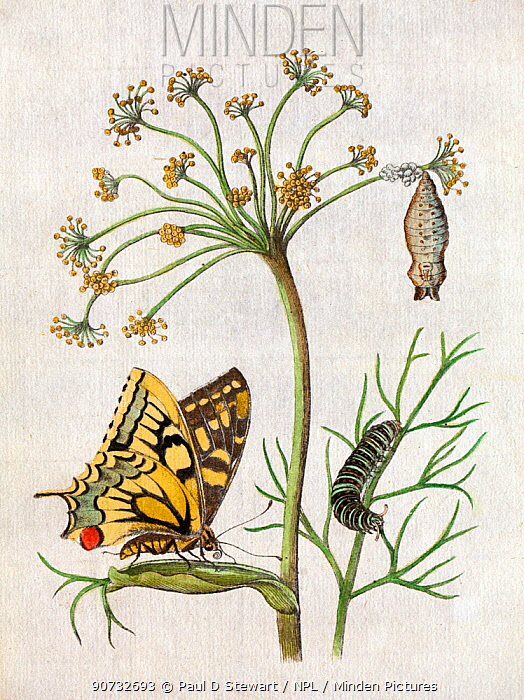 Illustration of  Swallowtail Butterfly (Papilio machaon) on Fennel by Maria Sybella Merian 1683, from her book 'Caterpillars, Their Wondrous Transformation and Peculiar Nourishment from Flowers'. Merian first depicted metamorphosis of European butterflies and moths around a single foodplant (here fennel) and was accompanied by a text in which she described each stage.