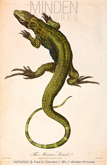 Illustration of Monitor lizard (Lacerta monitor)  now known as the Nile monitor (Varanus niloticus) from J. Frid Gmelin and Carl Linnaeus (posthumous). 'A Genuine and Universal System of Natural History comprising the three Kingdoms of Animals; Vegetables and Minerals. Arranged under their respective Classes; Orders; Genera and Species'. Published in London; 1794  1810. Linnaeus originally put the reptiles and amphibians together in one group and it was not until the 19th century that they were recognised a being very distinct groups.