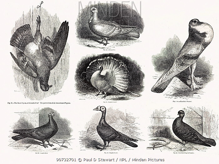 Composite of original line drawings from Darwin's 'Variation in Animals and Plants under Domestication' 1868. The ancestral form, the rock pigeon hangs up dead to the left while some of the many varieties produced from it by artificial selection (selective breeding for traits) are shown to the right.