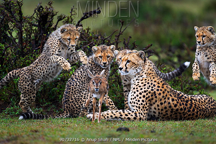 Cheetah (Acinonyx jubatus) cubs aged 6-9 months hunting Thomson's gazelle (Eudorcas thomsonii) fawn caught by their mother, to help develop hunting skills, Maasai Mara National Reserve, Kenya.