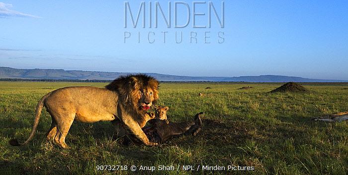 Lion pride (Panthera leo) feeding on a kill, Maasai Mara National Reserve, Kenya.