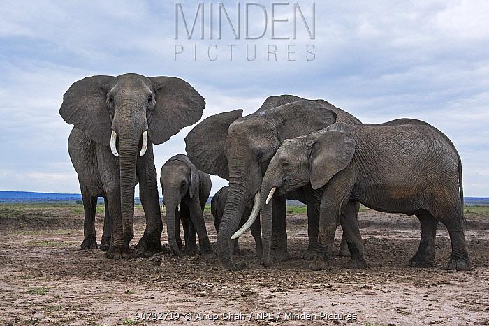 African elephants (Loxodonta africana) taking soil at a waterhole for its minerals, Maasai Mara National Reserve, Kenya.