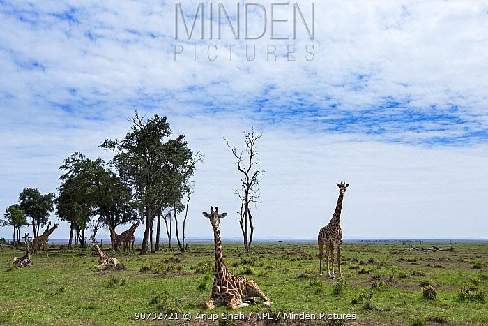 Maasai giraffes (Giraffa camelopardalis tippelskirchi) resting, Maasai Mara National Reserve, Kenya.