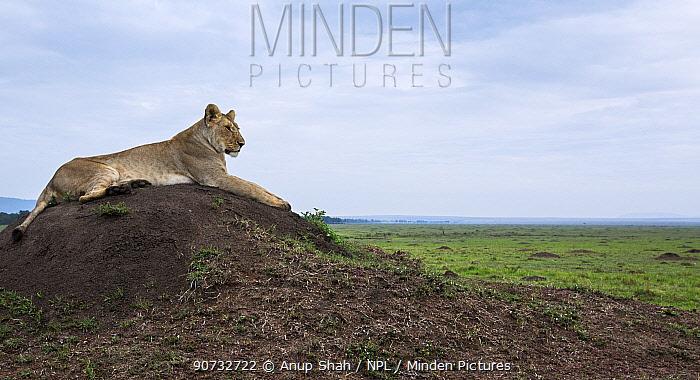 Lioness (Panthera leo) resting on a termite mound, Maasai Mara National Reserve, Kenya.