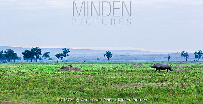 Black rhinoceros (Diceros bicornis) walking across grassland, Maasai Mara National Reserve, Kenya.