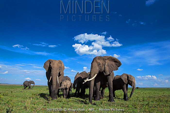 African elephant (Loxodonta africana) herd on the move, Maasai Mara National Reserve, Kenya.