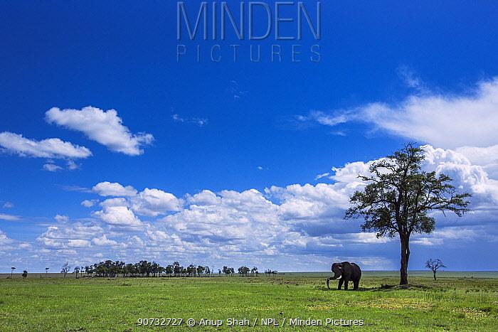 African elephant (Loxodonta africana) standing under a tree for shade, Maasai Mara National Reserve, Kenya.