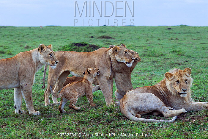Lions (Panthera leo) lionesses playing with cubs aged 3-6 months with young male resting, Maasai Mara National Reserve, Kenya.