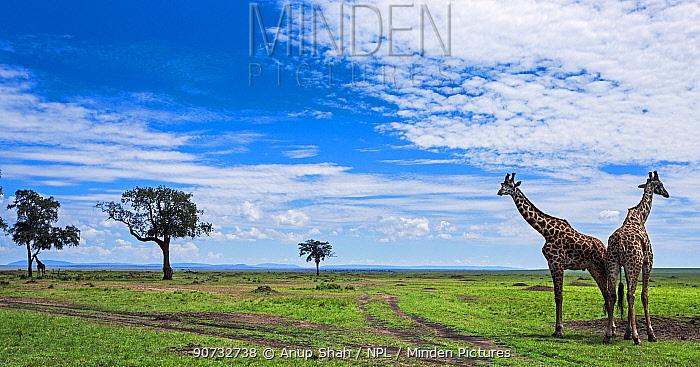 Maasai giraffe (Giraffa camelopardalis tippelskirchi) males together in landscape, Maasai Mara National Reserve, Kenya