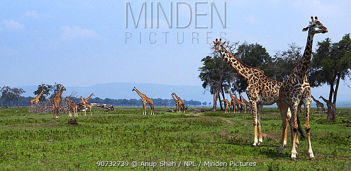 Maasai giraffe (Giraffa camelopardalis tippelskirchi) herd on plains of Maasai Mara National Reserve, Kenya