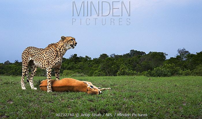 Cheetah (Acinonyx jubatus) standing over Impala (Aepyceros melampus) it has just killed, Maasai Mara National Reserve, Kenya