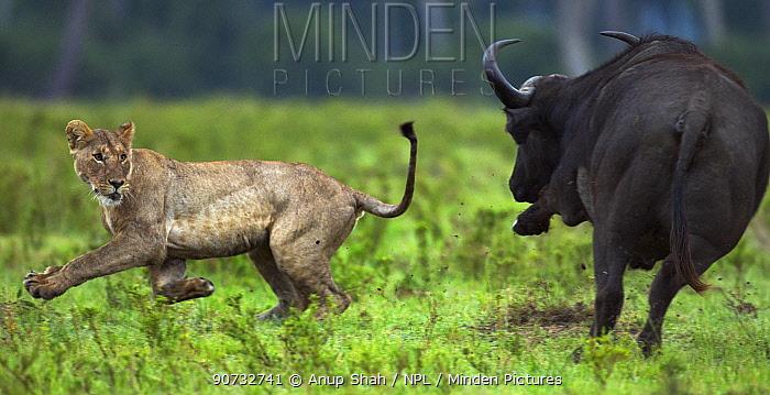 Cape buffalo (Syncerus caffer) chasing off Lioness (Panthera leo) Maasai Mara National Reserve, Kenya.