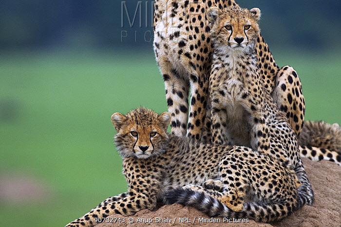 Cheetah (Acinonyx jubatus) female and cubs aged 6-9 months sitting on a termite mound, Maasai Mara National Reserve, Kenya.