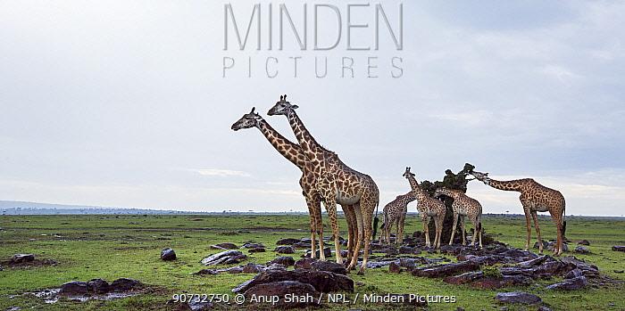 Maasai giraffes (Giraffa camelopardalis tippelskirchi) feeding, Maasai Mara National Reserve, Kenya.