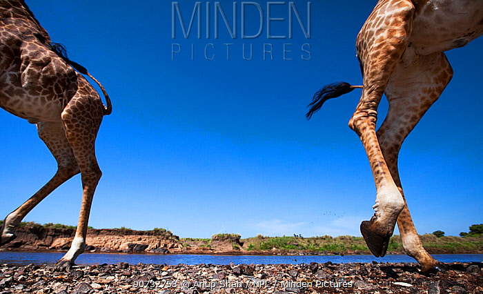 Maasai giraffe (Giraffa camelopardalis tippelskirchi) herd crossing the Mara River, Maasai Mara National Reserve, Kenya. Taken with remote wide angle camera.