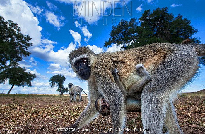 Vervet monkey (Cercopithecus aethiops) female carrying a baby under her belly, out foraging, Maasai Mara National Reserve, Kenya. Taken with remote wide angle camera.