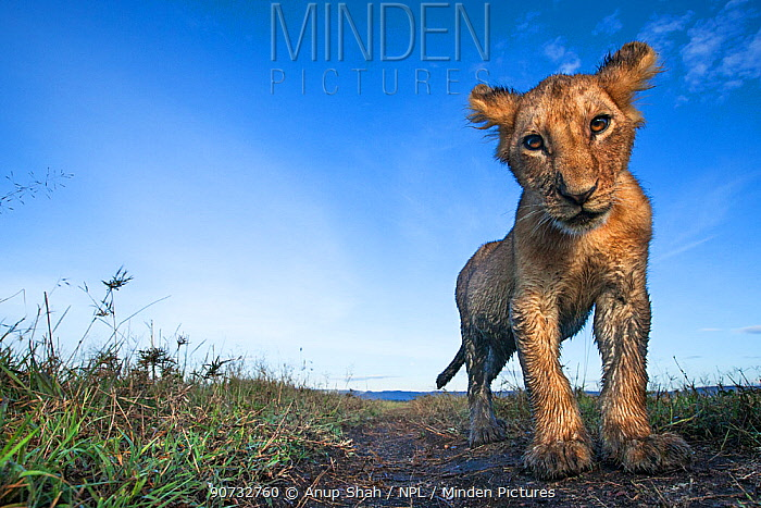 Lion (Panthera leo) cub aged about 10 months investigating camera with curiosity, Maasai Mara National Reserve, Kenya. Taken with remote wide angle camera.