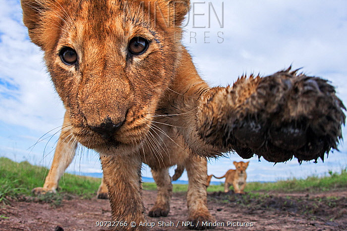 Lion (Panthera leo) cub aged about 11 months investigating camera with curiosity, Maasai Mara National Reserve, Kenya. Taken with remote wide angle camera.