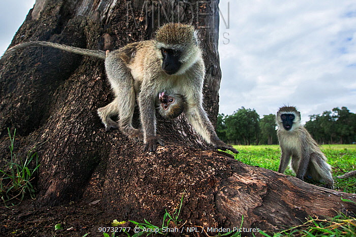 Vervet monkey (Cercopithecus aethiops) female with suckling baby on tree base, Maasai Mara National Reserve, Kenya.  Taken with remote wide angle camera.