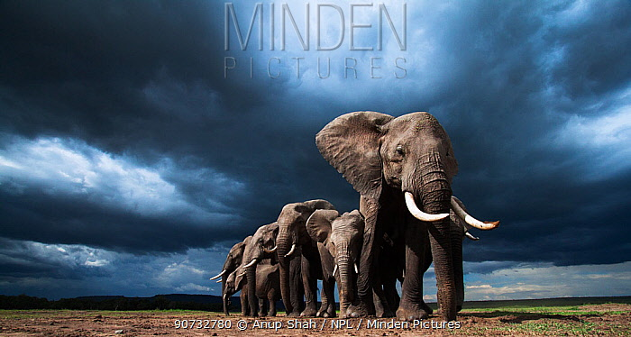 African elephants (Loxodonta africana) family herd feeding on loose soil for its minerals, with dramatic stormy skies behind, Maasai Mara National Reserve, Kenya.  Taken with remote wide angle camera.
