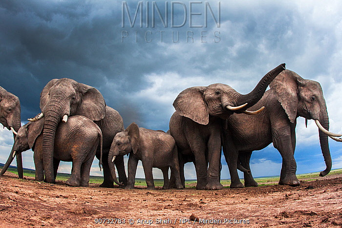 African elephants (Loxodonta africana) family herd feeding on loose soil for its minerals, with stormy skies behind, Maasai Mara National Reserve, Kenya.  Taken with remote wide angle camera.