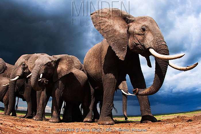 African elephants (Loxodonta africana) feeding on loose soil for its minerals, with stormy skies behind, Maasai Mara National Reserve, Kenya.  Taken with remote wide angle camera.