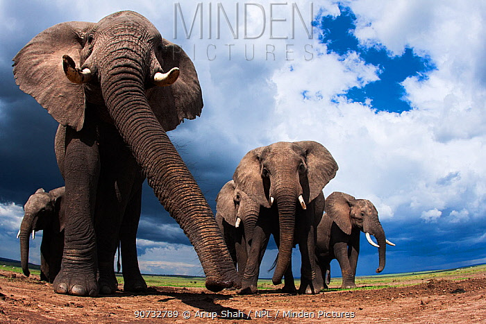 African elephants (Loxodonta africana) feeding on loose soil for its minerals, Maasai Mara National Reserve, Kenya. Taken with remote wide angle camera.