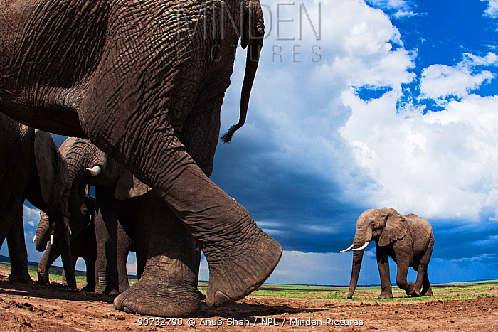 African elephants (Loxodonta africana) feeding on loose soil for its minerals, one walking out of the frame, Maasai Mara National Reserve, Kenya.  Taken with remote wide angle camera.