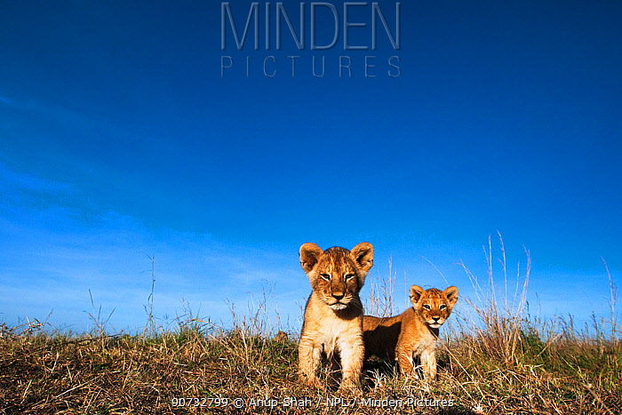 Lion cubs (Panthera leo) aged about 2 months approaching camera with curiosity, Maasai Mara National Reserve, Kenya. Taken with remote wide angle camera.