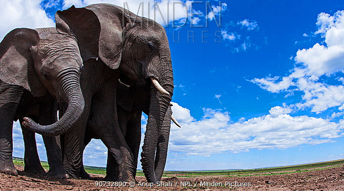 African elephants (Loxodonta africana) eating soil for its minerals, Maasai Mara National Reserve, Kenya. Taken with remote wide angle camera.