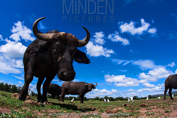 Cape buffalo (Syncerus caffer) approaching camera with curiosity, Maasai Mara National Reserve, Kenya. Taken with remote wide angle camera.