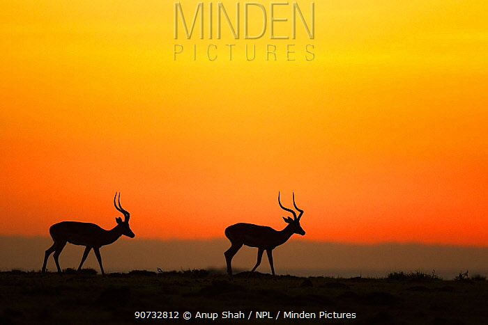 Impala (Aepyceros melampus) two males silhouetted at sunrise, Maasai Mara National Reserve, Kenya