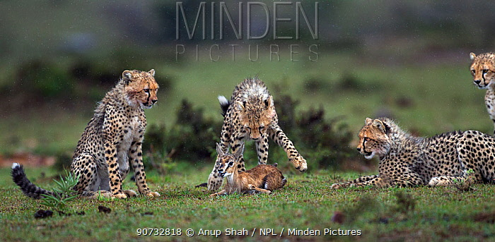 Cheetah cubs (Acinonyx jubatus) aged 6-9 months hunting a Thomson's gazelle fawn (Eudorcas thomsonii) caught by their mother so they can develop their hunting skills, Maasai Mara National Reserve, Kenya