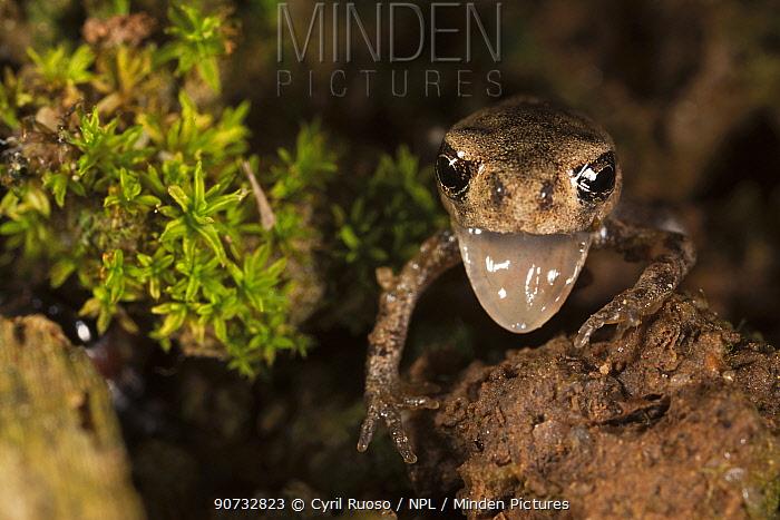 European Toad (Bufo bufo) ltoadlet leaving pond, Burgundy. France, June.