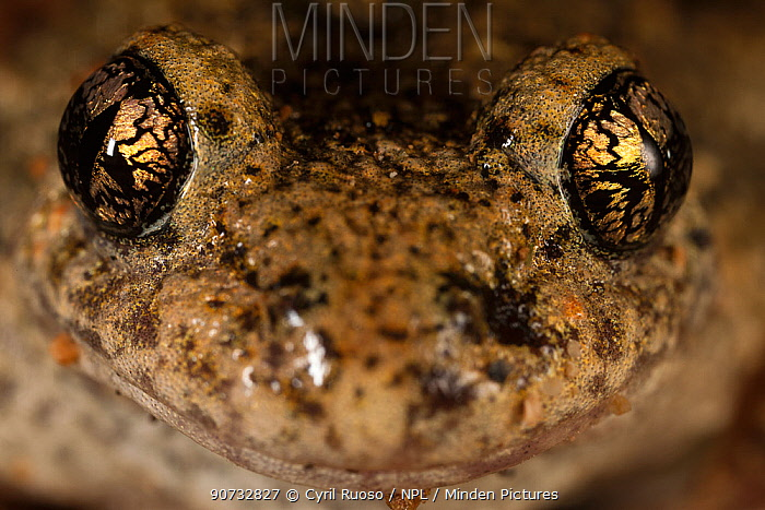 Midwife Toad (Alytes obstetricans) portrait. Burgundy, France