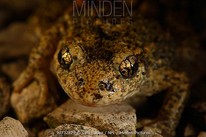 Midwife Toad (Alytes obstetricans) portrait of male with eggs, Burgundy, France